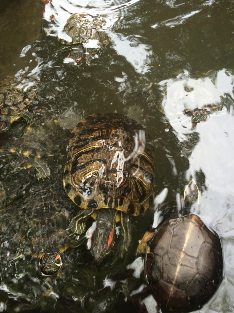 Dieses Foto dieser süßen Rotwangenschildkröten muss auch mit rein =)